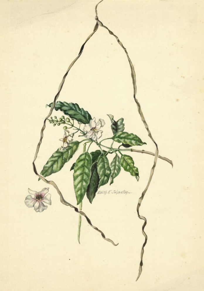 """Floral Vine [Untitled]. Edith Johnston. Watercolor, c.1955. Paper size 18 3/4 x 13 1/8"""" (47.5 x 33.3 cm). Signed in watercolor. LINK."""